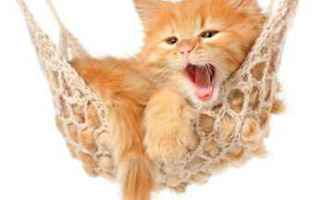 gatto  comportamento  linguaggio