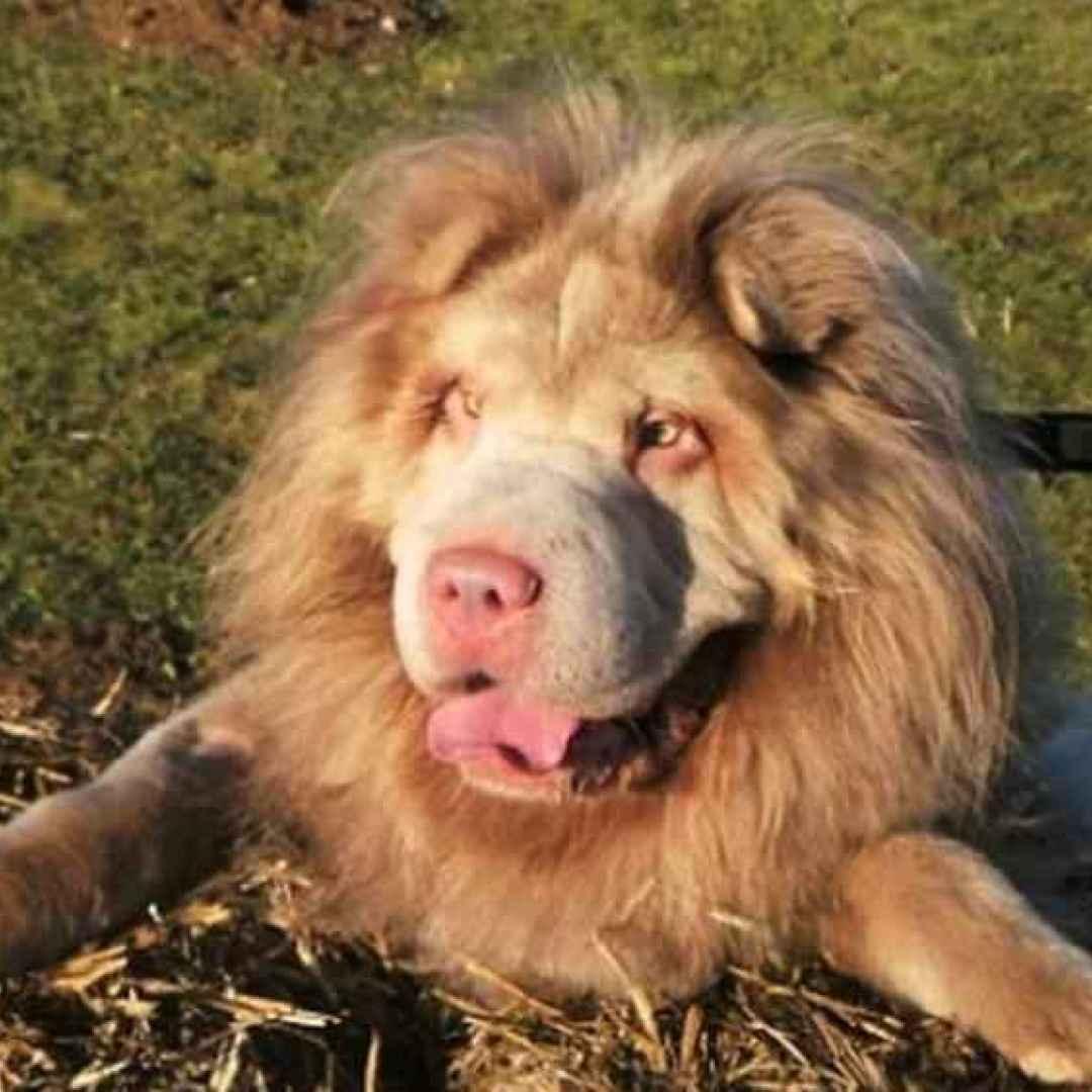 cane  leone  tydus