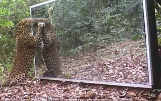 Animali: leopardo  specchio  immagine