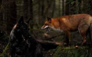 Animali: cane  volpe  amicizia
