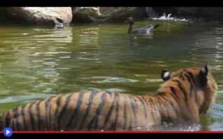 Animali: animali  uccelli  anatre  tigri  zoo