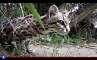 Animali: animali  felini  gatti  sud-america