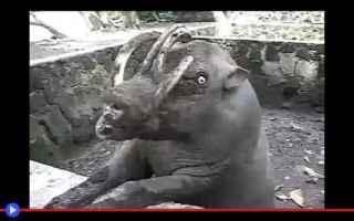 Animali: animali  mammiferi  cinghiali  suini