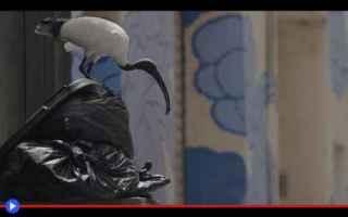 Animali: animali  uccelli  ibis  australia