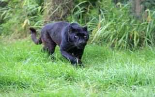 pantera  puma nero  pisticci  matera