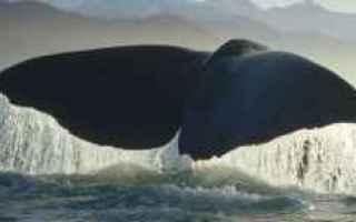 Animali: balene  misticeti  gigantismo