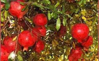 Cultura: carducci  melograno  mito  pianta