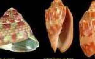 collezione malacologica  conchiglie