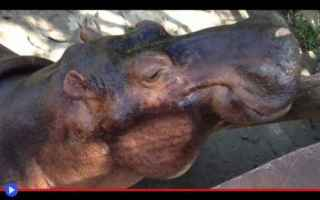 Animali: animali  ippopotami  colombia  storia