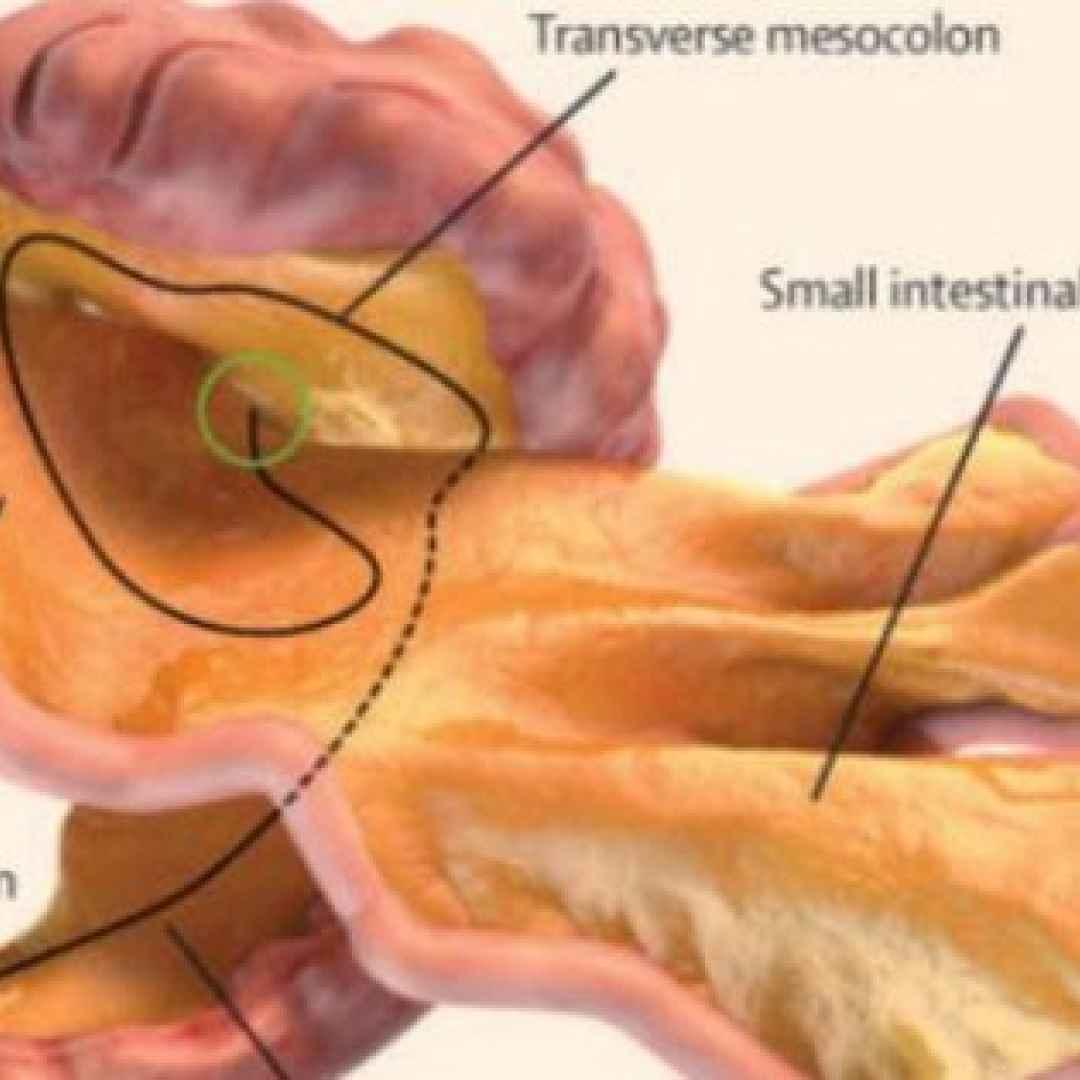 mesentere  organo  corpo umano