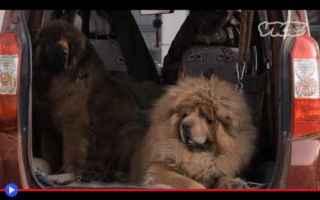 Animali: animali  tibet  razze  allevamento