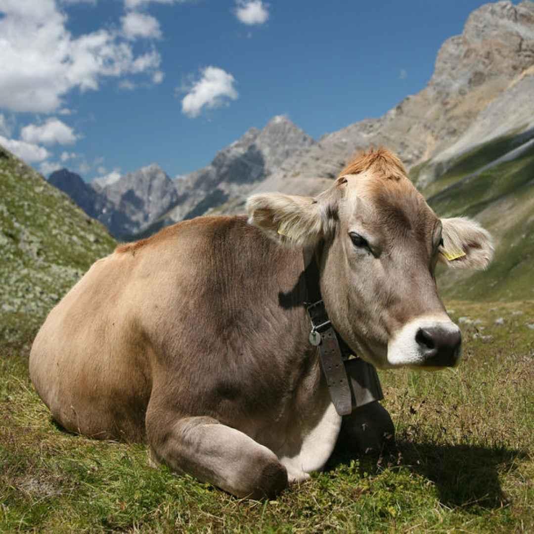 mucca  inquinamento  alghe  carne