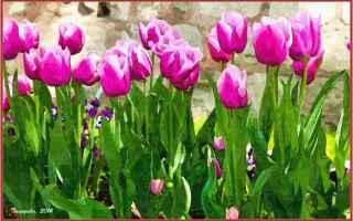 Cultura: fiore  tulipa  turchia  botanica