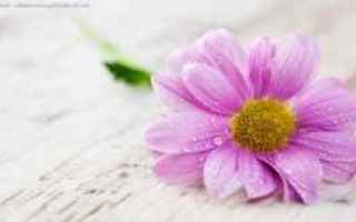1366x768  desktop  fiori  sfondi
