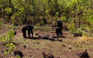 Animali: etologia  scimmie  scienza