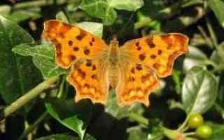 farfalla  impollinatori  tripudio