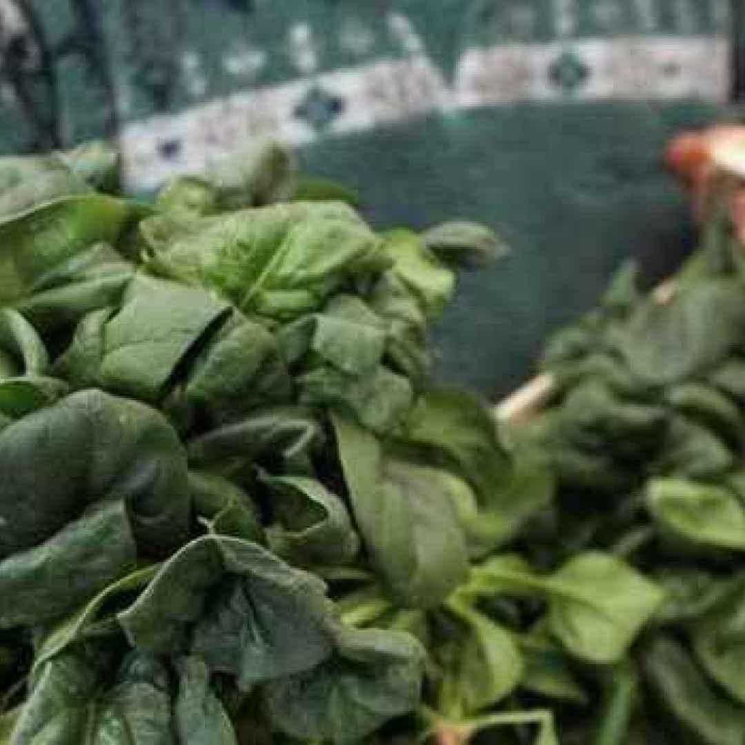 ritiro dal mercato  taleggio  spinaci