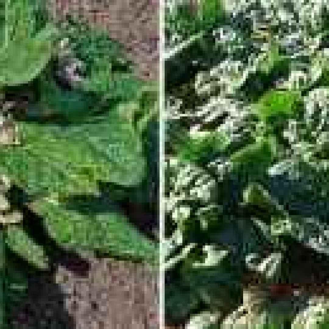mandragora  bonduelle  spinaci  milano