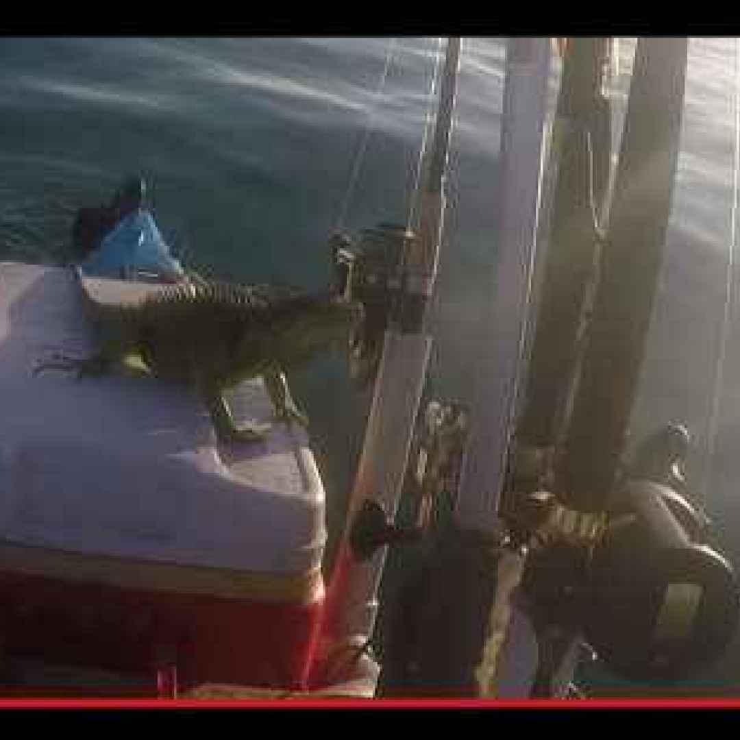 iguane  animali  mare  strano  kayak