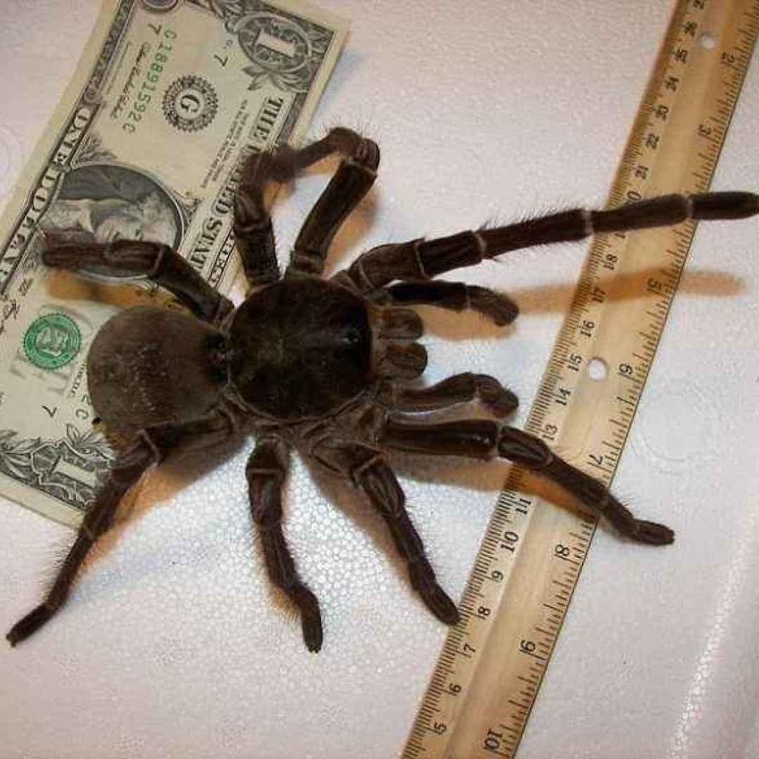 insetti  ragni  veleno  scienza