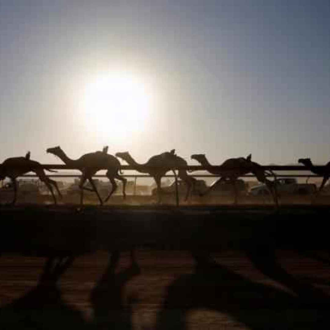foto  cammelli  dromedari  deserto  gare