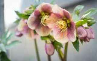 Giardinaggio: fiori  inverno  elleboro  crocus
