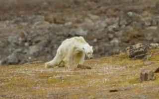 Animali: orso bianco  inquinamento  bufala