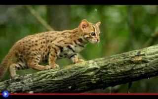 Animali: animali  gatti  felini  india  sri lanka