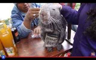 Animali: animali  roditori  caviomorfi  topi