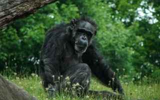 Animali: ricerca  scienza  scimpanzé  bonobo