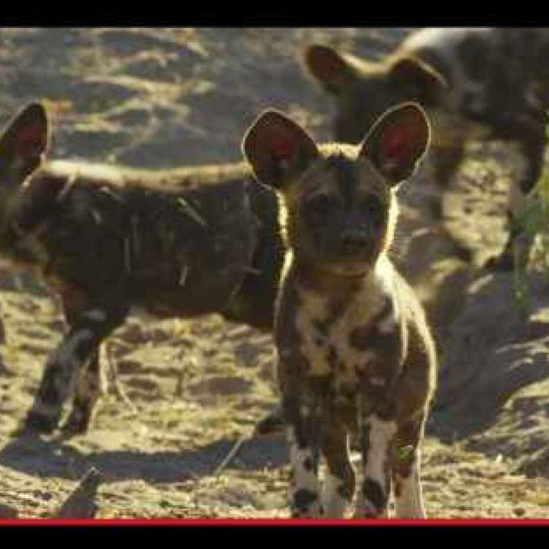 animali  africa  cani  documentari  tv