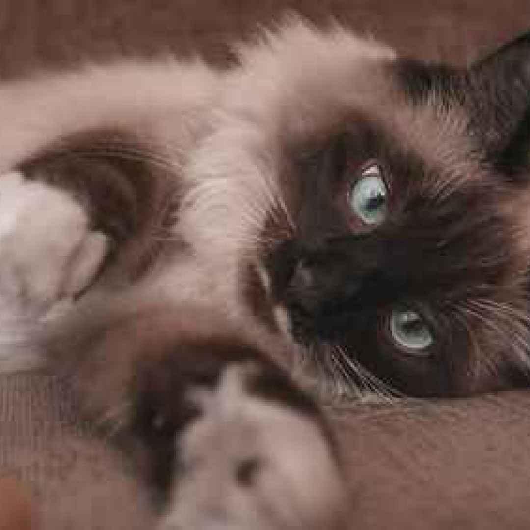 gatto  acari  parassiti