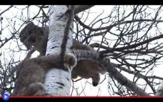 Animali: animali  felini  canada  alberta