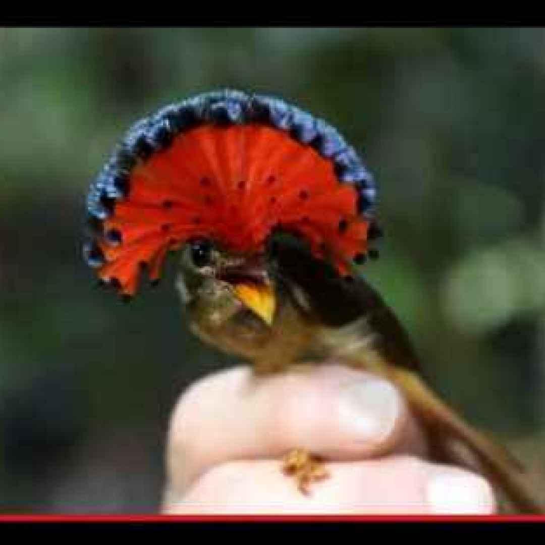 uccelli  animali  sudamerica  amazzonia