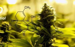 vai all'articolo completo su cannabis