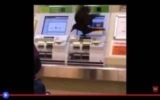 Video divertenti: animali  uccelli  corvi  tokyo  giappone