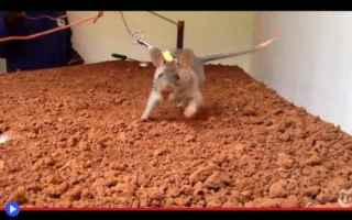 dal Mondo: animali  topi  addestramento  africa