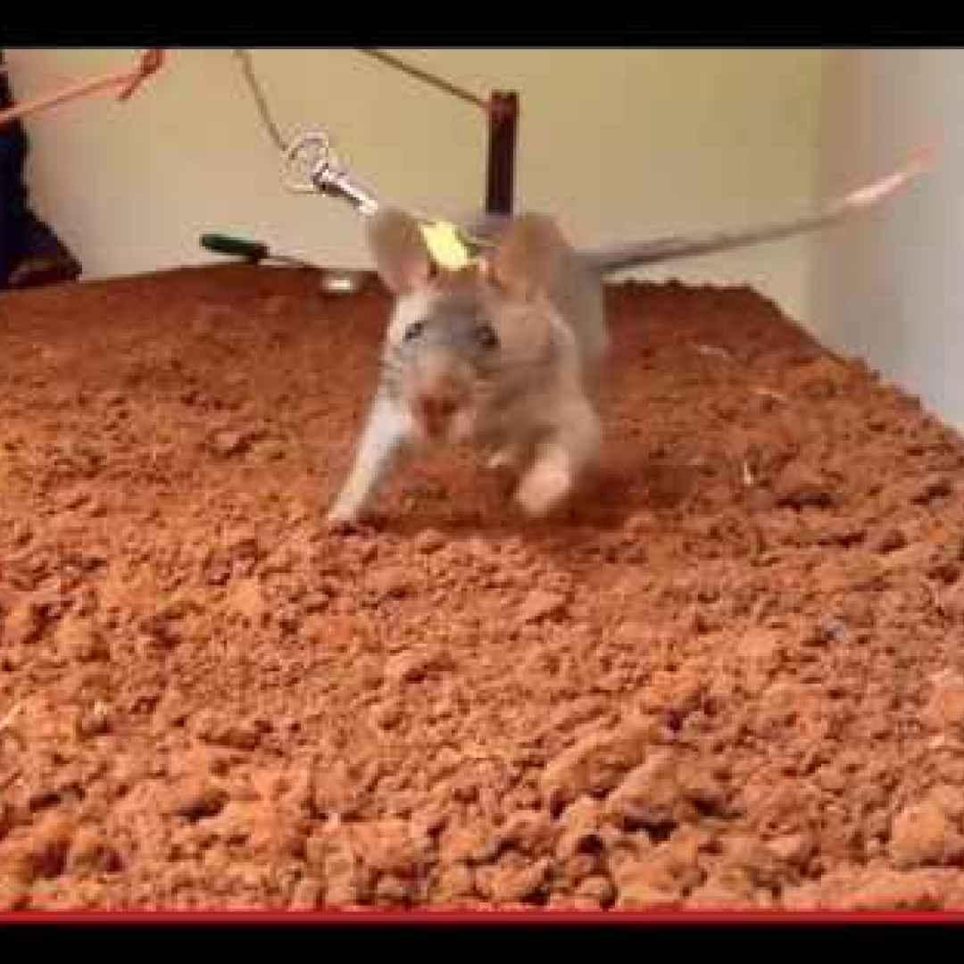 animali  topi  addestramento  africa