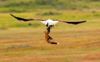 Foto online: aquila volpe fotografia natura