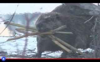 Animali: animali  castori  roditori  stati uniti