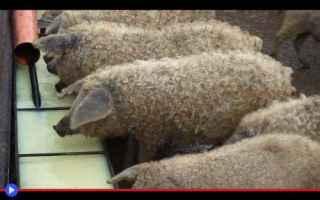 Animali: animali  fattoria  allevamento  maiali