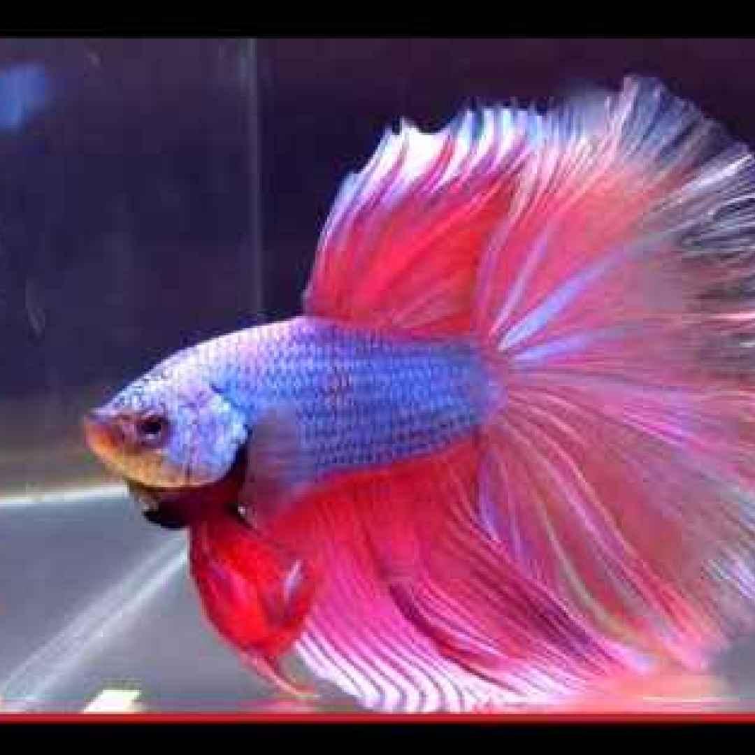 animali  pesci  allevamento  asia