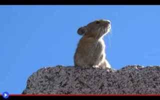 Animali: animali  roditori  lagomorfi  pika