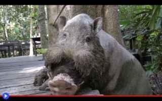 animali  borneo  indonesia  maiali