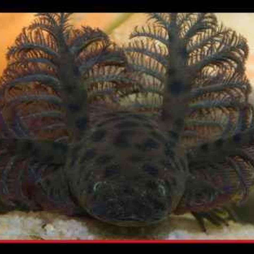animali  anfibi  salamandre  florida