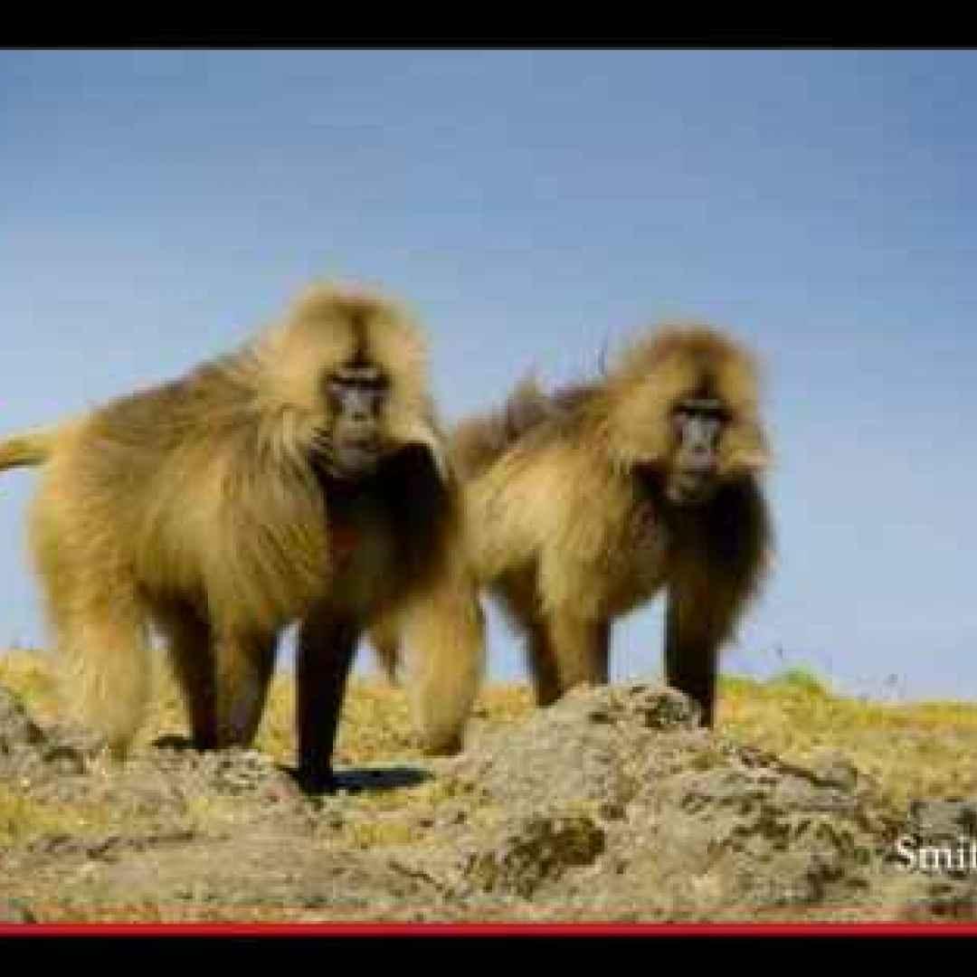 animali  scimmie  babbuini  africa