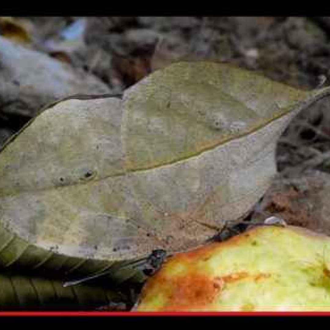 animali  artropodi  insetti  lepidotteri