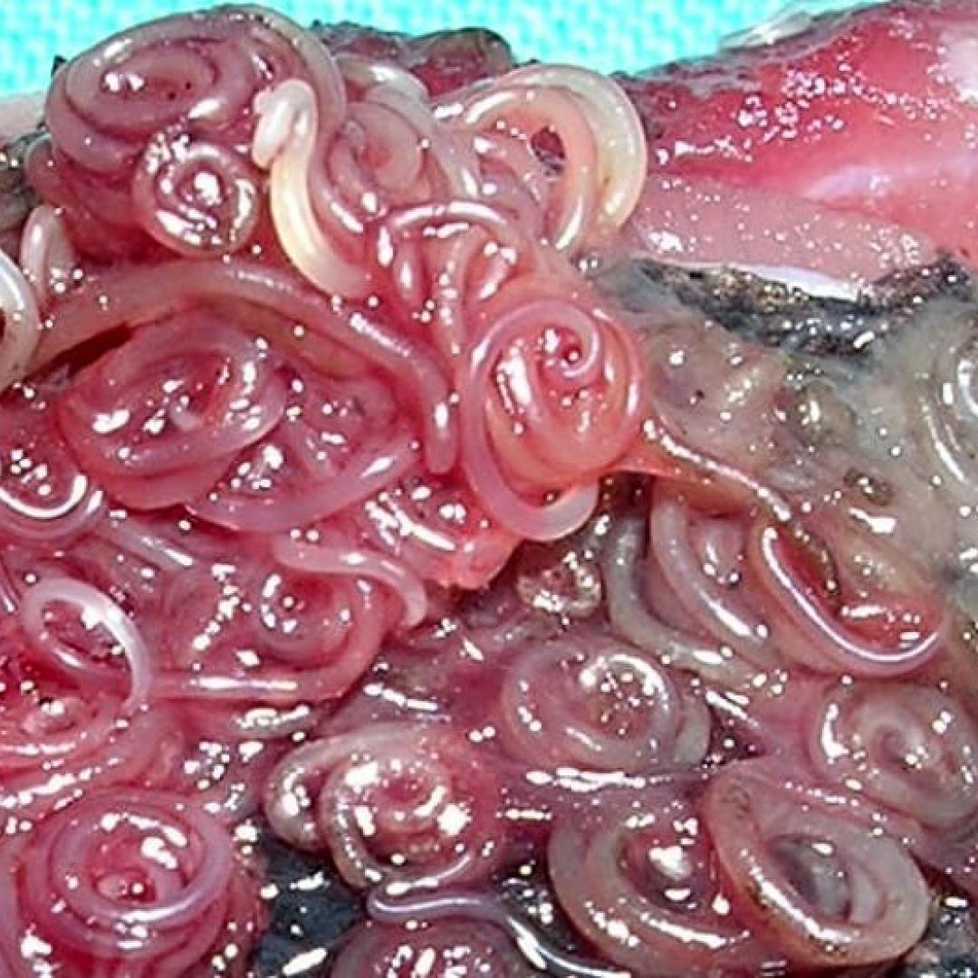 anisakis  pesce crudo  haccp