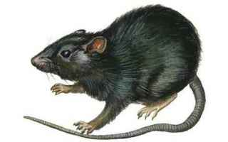 https://diggita.com/modules/auto_thumb/2019/01/08/1631517_encyclopaedia-britannica-black-rat-rattus-rattus-mammals_a-G-14411189-9761616_thumb.jpg