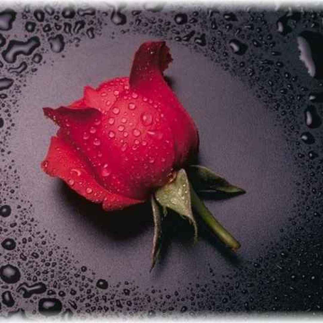flora  mitologia  rosa  zefiro
